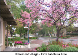 Postcard Claremont Village CA Pink Tabebuia Tree